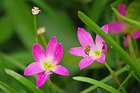 蜜蜂授粉的兰花