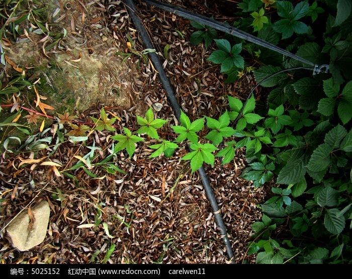原创摄影图 动物植物 花卉花草 那里都可以生长的爬山虎  请您分享