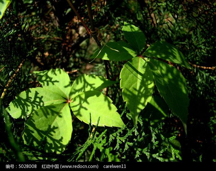 原创摄影图 动物植物 树木枝叶 爬山虎叶上松柏枝阴影