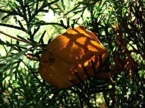 飘落在松柏枝上的黄叶