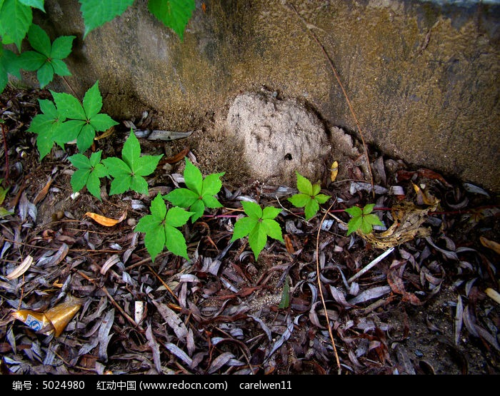 原创摄影图 动物植物 花卉花草 墙角的爬山虎