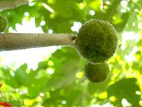 身边的野生树上的果实