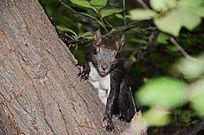 树上的一只黑皮毛白肚皮的松鼠