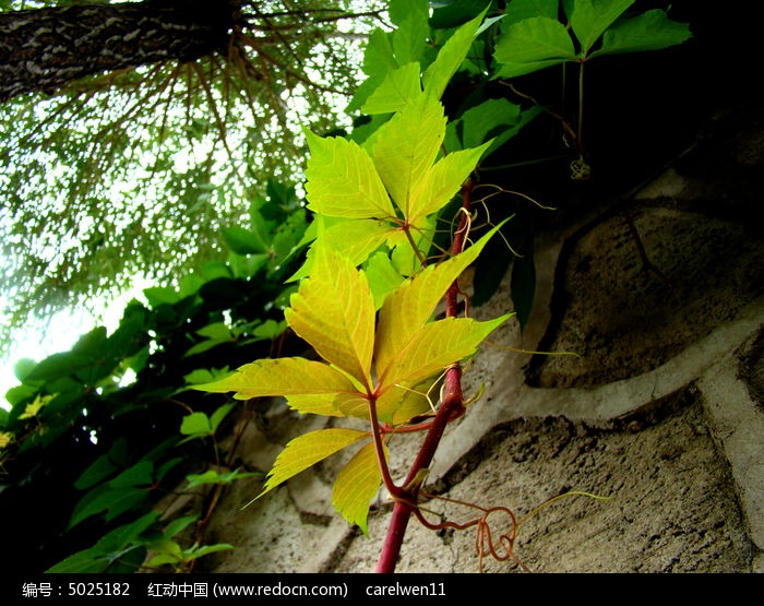 原创摄影图 动物植物 花卉花草 喜欢攀爬的爬山虎  请您分享: 红动网