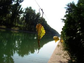 悬在绳子上的黄叶