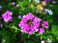阳光下紫色的鲜花