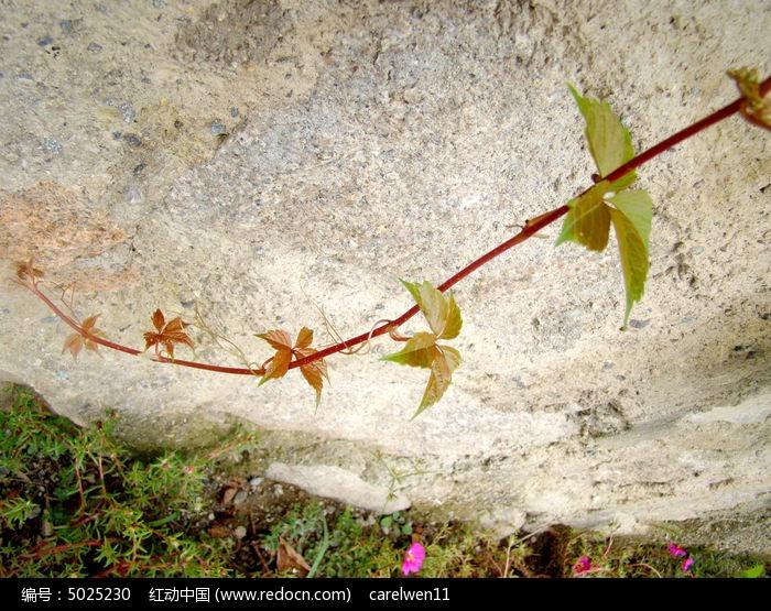 原创摄影图 动物植物 花卉花草 一枝爬山虎  请您分享: 红动网提供