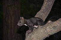 玉佛山上一只黑色的松鼠在树叉上