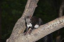 玉佛山上在树叉上正在观望的松鼠