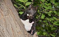 玉佛山树上黑毛的松鼠在吃食