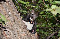 正在吃食的玉佛山树上白肚皮的松鼠