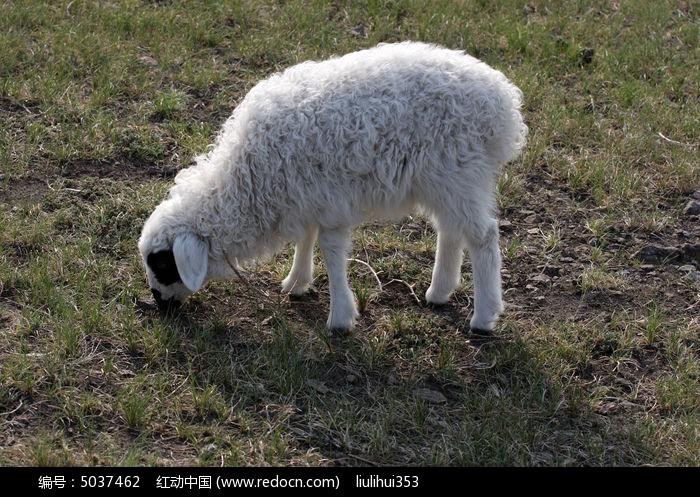 可爱的羊羔图片