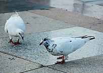 两只白鸽子