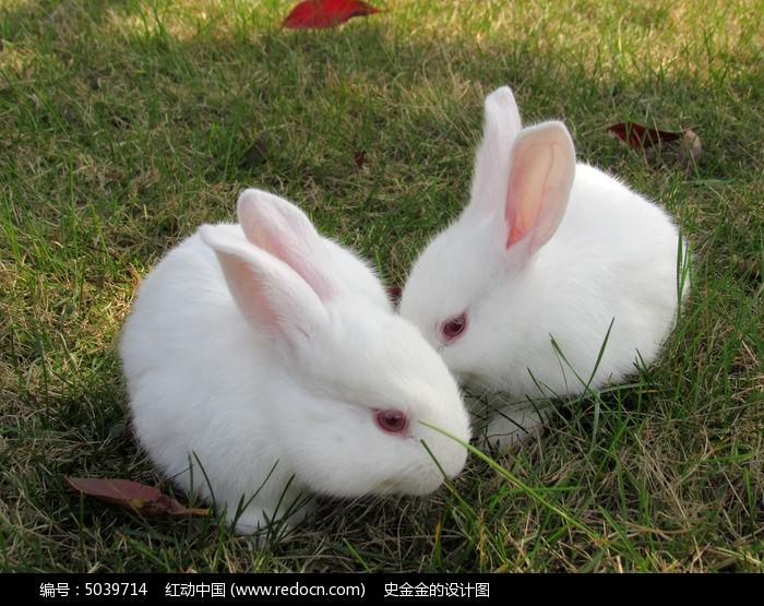 两只小白兔图片,高清大图_陆地动物素材