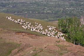 山坡上的羊群