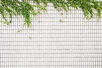 白瓷砖墙上的爬山虎