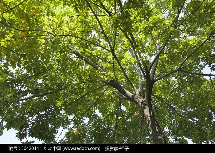 原创摄影图 动物植物 树木枝叶 白蜡树  请您分享: 红动网提供树木