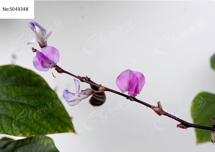 原创摄影图 动物植物 花卉花草 扁豆花横构图