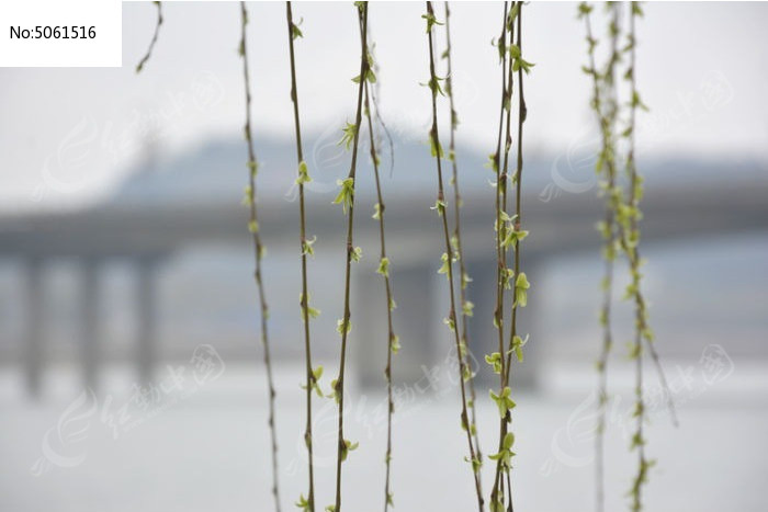 春天发芽的柳枝图片
