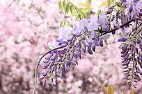 春天里紫色花紫萝兰花樱花背景图电脑屏保紫色系列