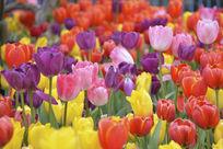 春天盛开的郁金香花