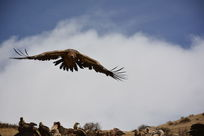 飞翔的秃鹫