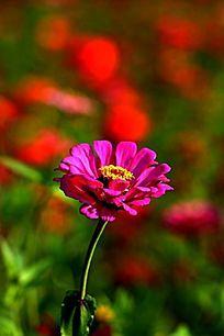 红色背景玫红百日菊