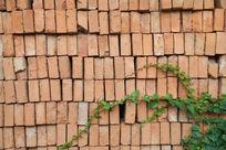 红砖墙爬山虎