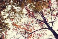 金黄色的枫树