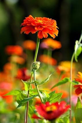 近摄橙色百日菊