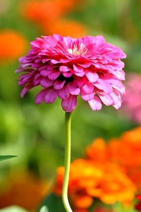 近摄玫红色百日菊