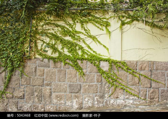 原创摄影图 动物植物 花卉花草 墙上的爬山虎  请您分享: 红动网提供
