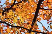 如金色一般的秋天枫叶
