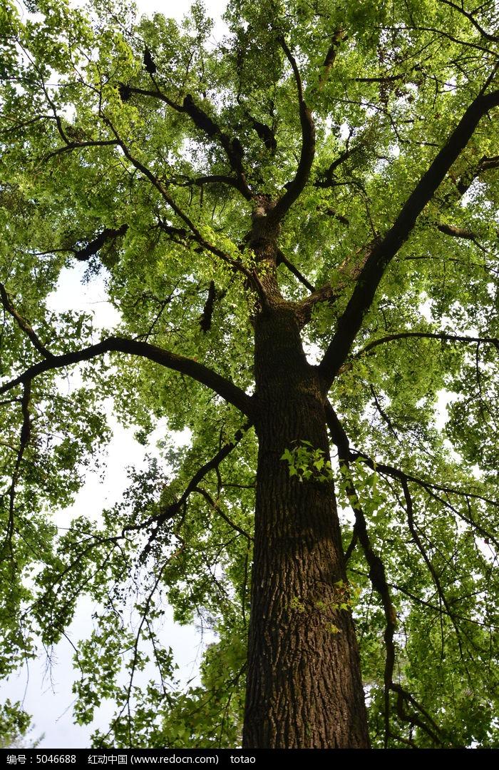 原创摄影图 动物植物 树木枝叶 梧桐树  请您分享: 红动网提供树木