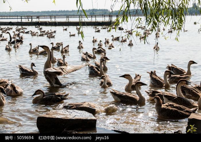 原创摄影图 动物植物 空中动物 一大群饲养的大雁
