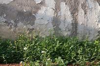 斑驳墙面前的菊花