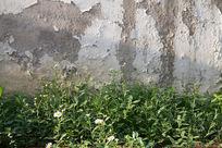 墙边的野菊花