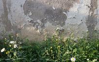 墙角的菊花