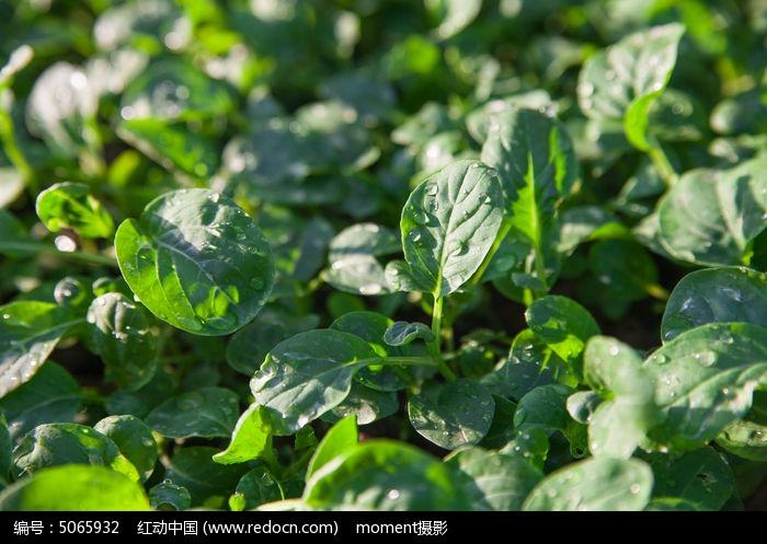 原创摄影图 动物植物 农作物 新鲜蔬菜