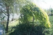 狂风中的绿树