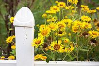 围栏内的黄花