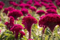 鸡冠花花坛