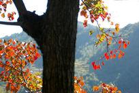 满树红色的枫叶