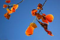 秋季的枫叶