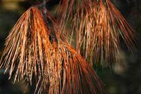 秋季的松枝
