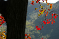树上红色的枫叶