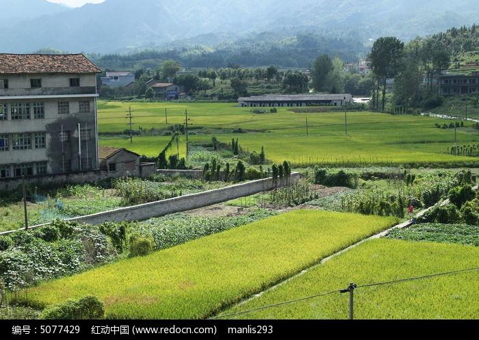 乡村小镇的稻田田园风光图片