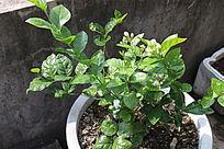 阳光下的茉莉花盆栽