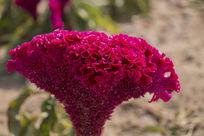 一朵鸡冠花