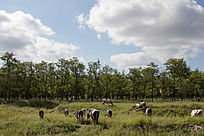 蓝天白云草地上的一群奶牛